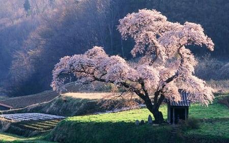 Япония: сакура в цвету!